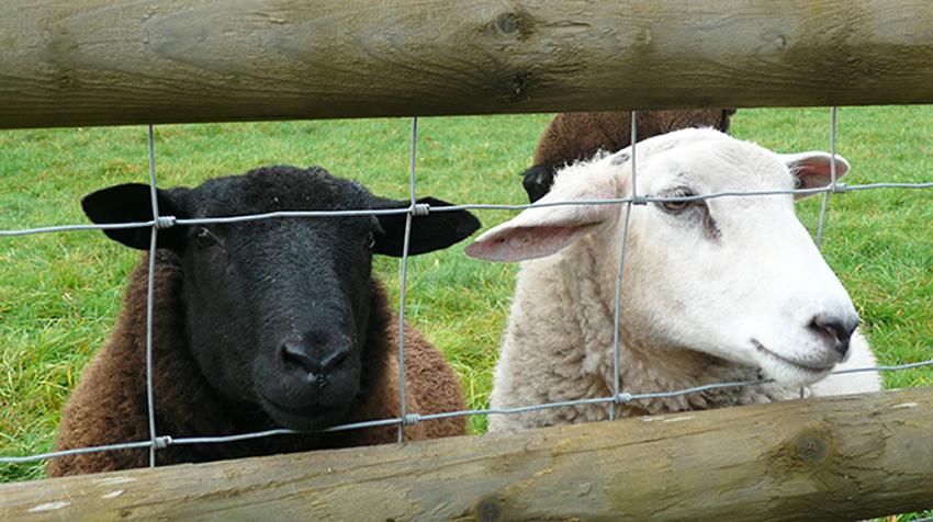 Tame sheep